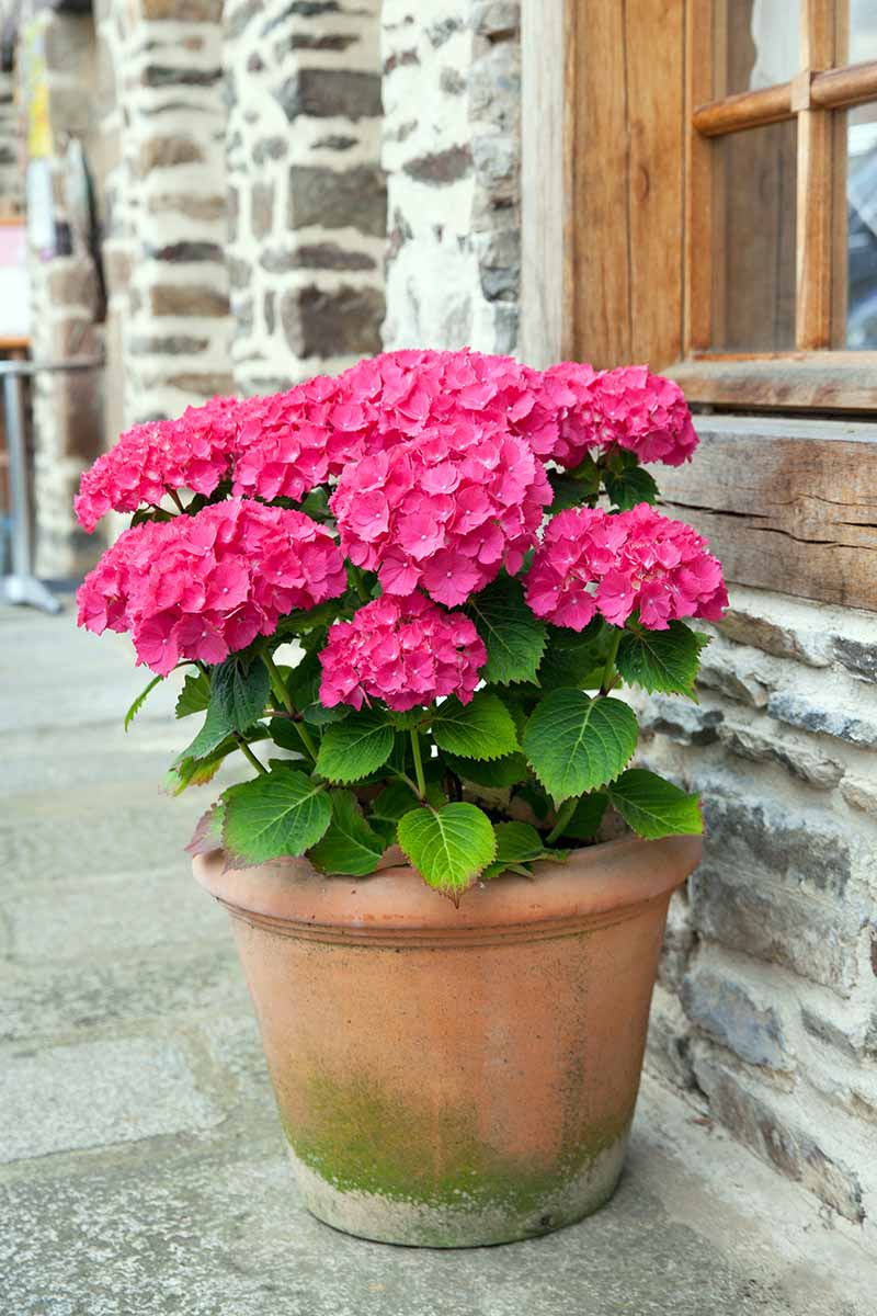 A close up vertical image of a large pink hydrangea shrub growing in a terra cotta pot outside a stone residence.