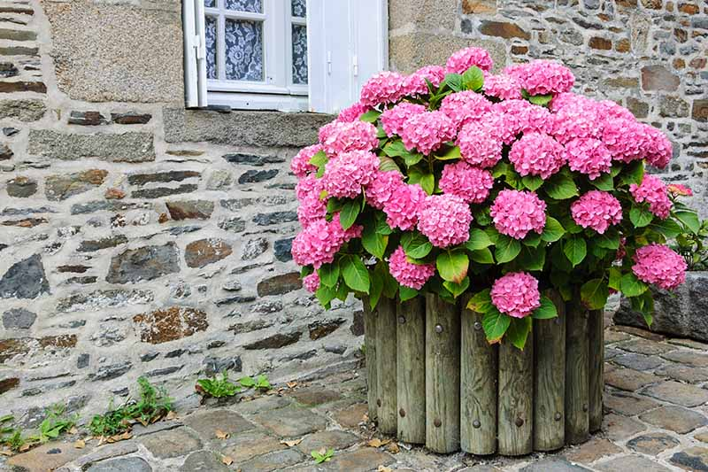 A close up of a large pink hydrangea growing in a wooden pot outside the window of a stone house.