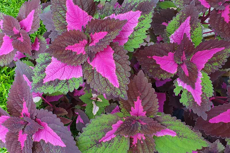 A close up horizontal image of the bright pink multicolored foliage of Coleus scutellarioides growing in the garden.