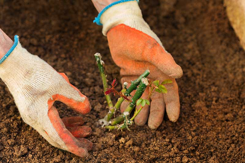 A close up horizontal image of two gloved hands from the left of the frame planting a small plant in rich soil in the garden.
