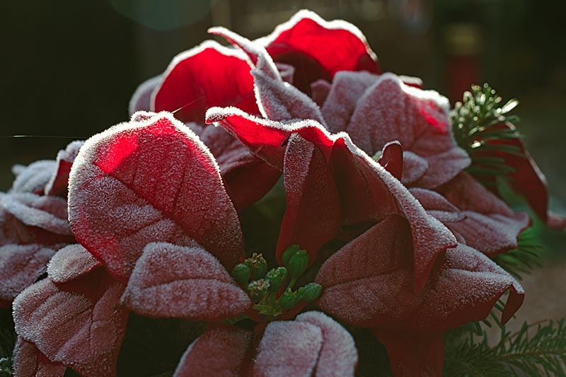 A close up horizontal image of the bright red bracts of a Euphorbia pulcherrima plant covered in a light frost pictured in filtered sunshine on a soft focus background.