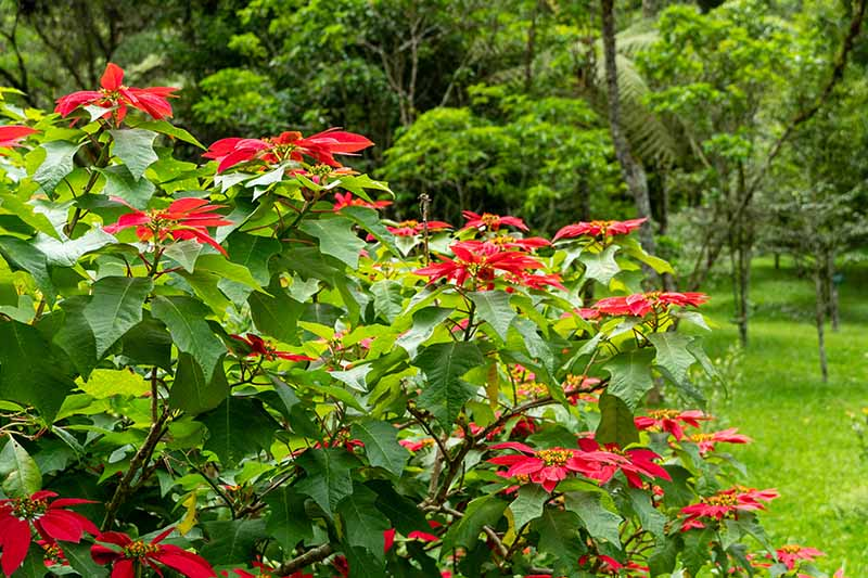 A horizontal image of a tropical garden with a Euphorbia pulcherrima plant growing with bright red bracts on a soft focus background.