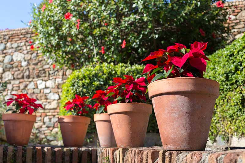A close up horizontal image of a line of pots containing bright red Euphorbia pulcherrima plants set on a brick surface with a large tree and stone wall in soft focus in the background pictured in bright sunshine.