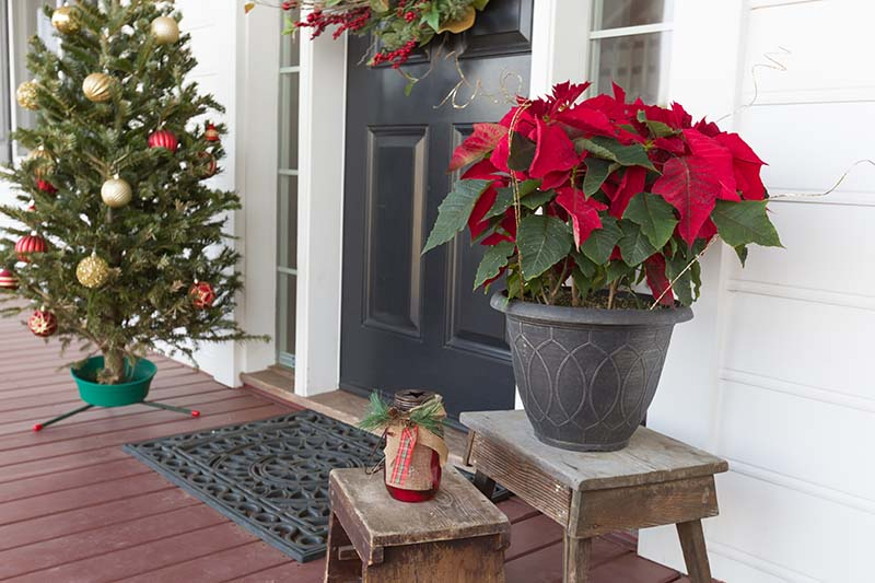 A horizontal image of the entranceway to a house decorated for the holidays with a Christmas tree to the left of the frame and a bright red poinsettia plant to the left of the doorway.