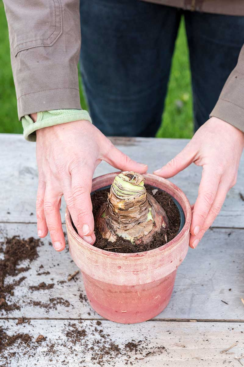 A close up vertical image of two hands planting a bulb in a terra cotta pot set on a wooden surface.
