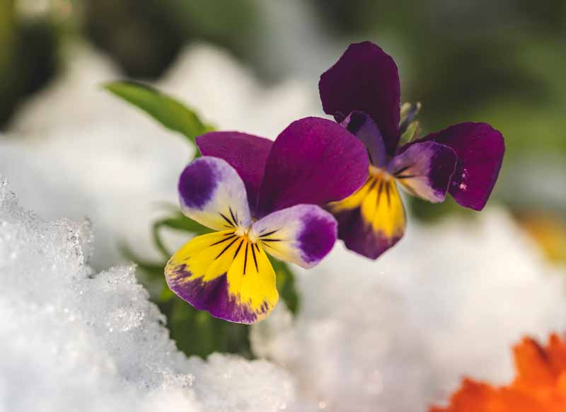 A close up horizontal image of bright purple flowers growing in the snow, pictured on a soft focus background.