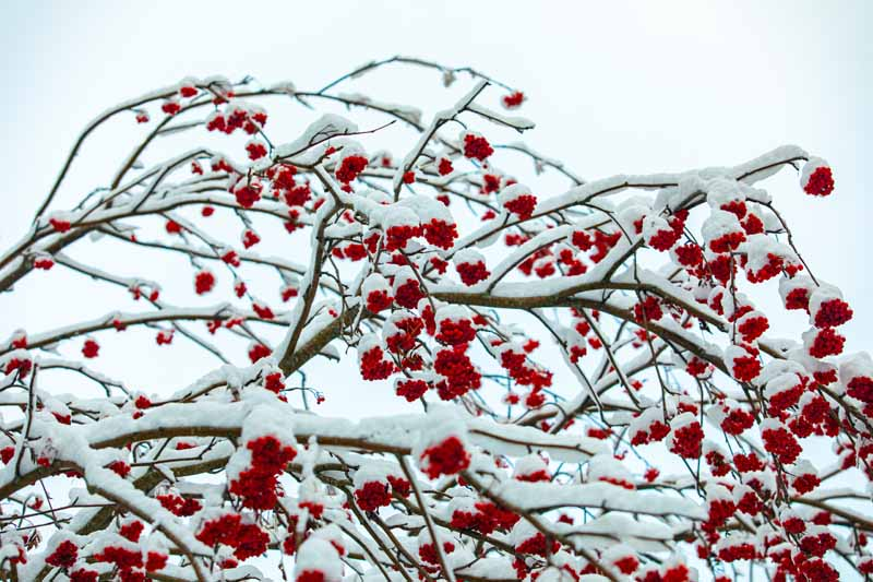 A close up horizontal image of the branches of Ilex verticillata with bright red berries and a covering of snow pictured on a soft focus background.