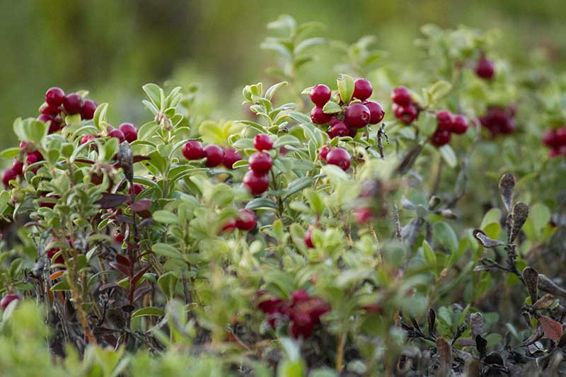 A close up horizontal image of Vaccinium macrocarpon with bright red berries ready to harvest pictured on a soft focus background.