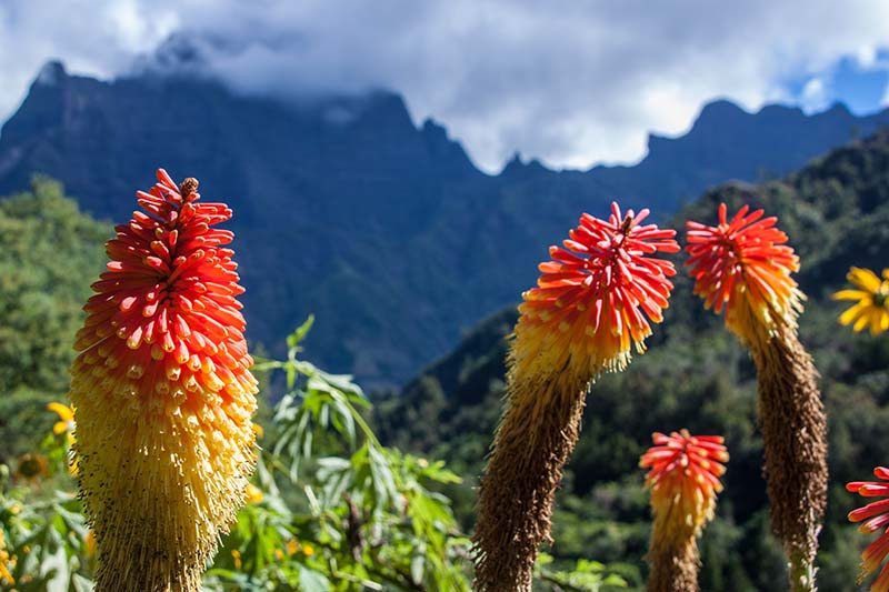 A close up horizontal image of a red hot poker plant growing in a mountainous region.