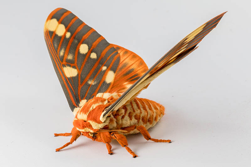A close up of a regal moth with bright orange and black wings on a white surface.