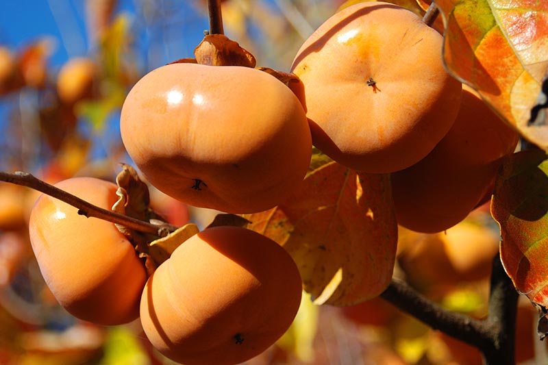A close up horizontal image of persimmon fruit ready to harvest pictured in bright sunshine pictured on a soft focus background.