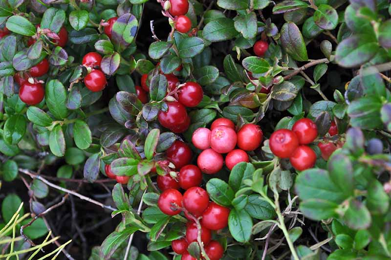 A close up horizontal image of a Vaccinium macrocarpon plant laden with bright red fruit and dark green foliage growing in the garden.