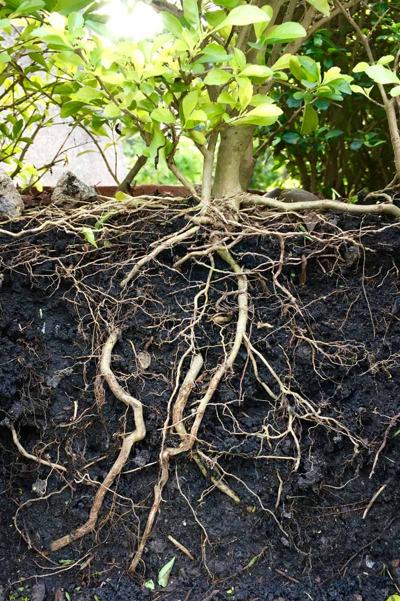 A close up vertical image of a plant with the soil removed around its roots to expose them to the air.