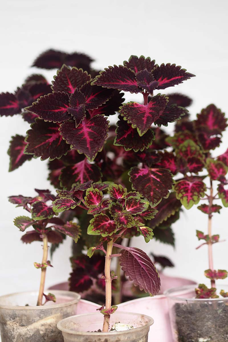 A close up vertical image of a number of Coleus scutellarioides cuttings taking root in plastic containers indoors pictured on a white background.
