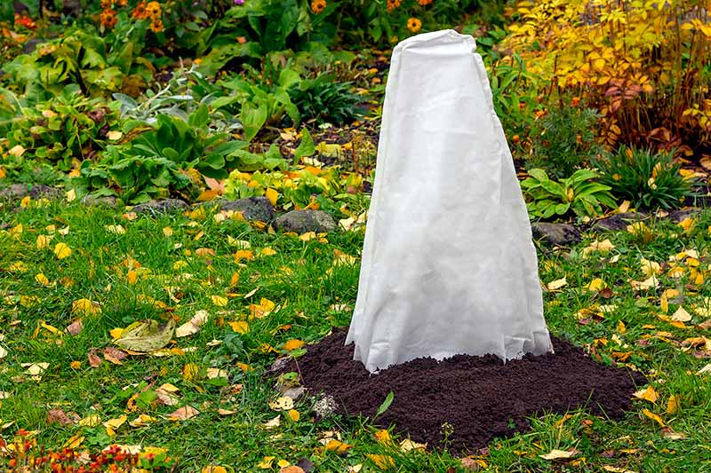 A close up horizontal image of a shrub covered with a fabric cone and mounded soil around the roots to protect it during the winter months.