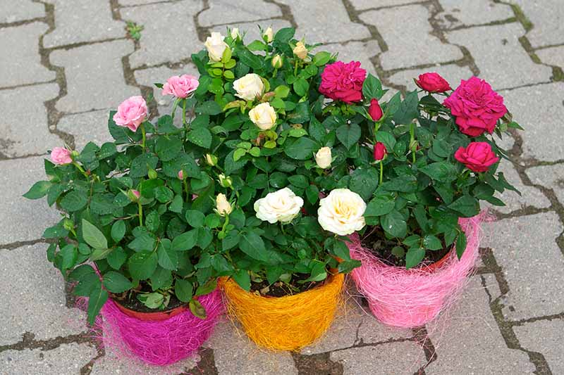 A close up horizontal image of three decorative pots with pink and white flowers set on a tiled surface.