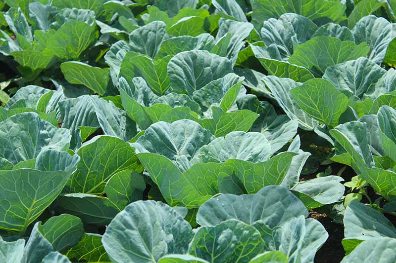 A close up horizontal image of rows of Brassica oleracea var. acephala growing in light sunshine.