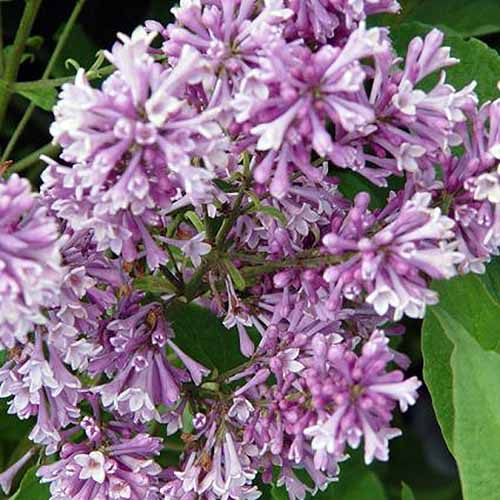 A close up square image of the flowers of Syringa vulgaris 'Royalty' growing in the garden with foliage in soft focus in the background.