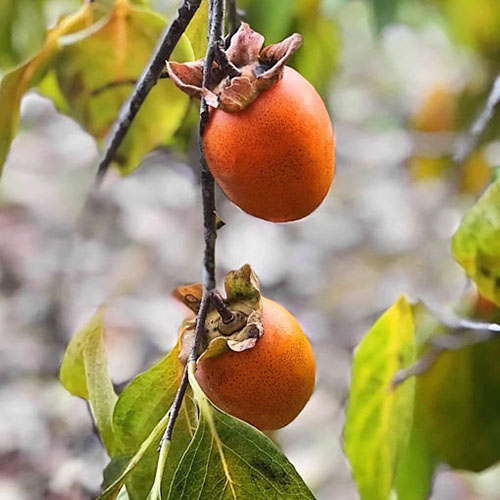 A close up square image of Diospyrus kaki 'Saijo' growing in the garden with bright orange fruits pictured on a soft focus background.