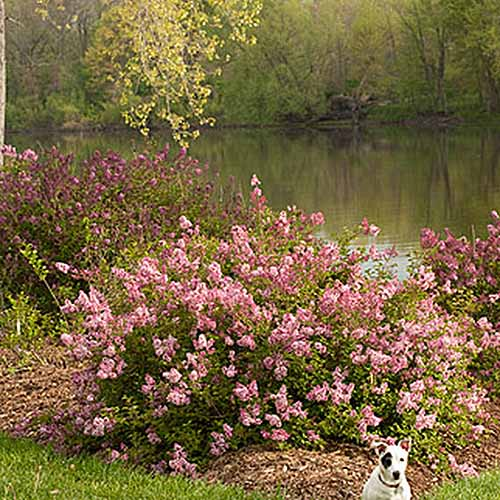 A close up square image of Syringa vulgaris 'Scent and Sensibility' growing by the side of a river with bright pink flowers, and a dog in the foreground.