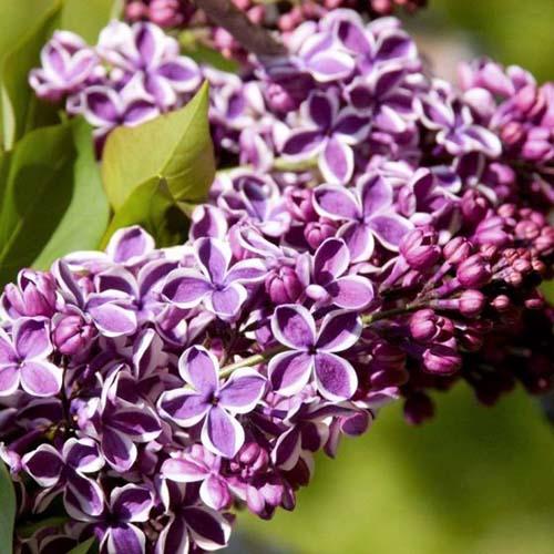 A close up square image of the purple and white bicolored flowers of Syringa vulgaris 'Sensation' pictured in bright sunshine on a soft focus background.