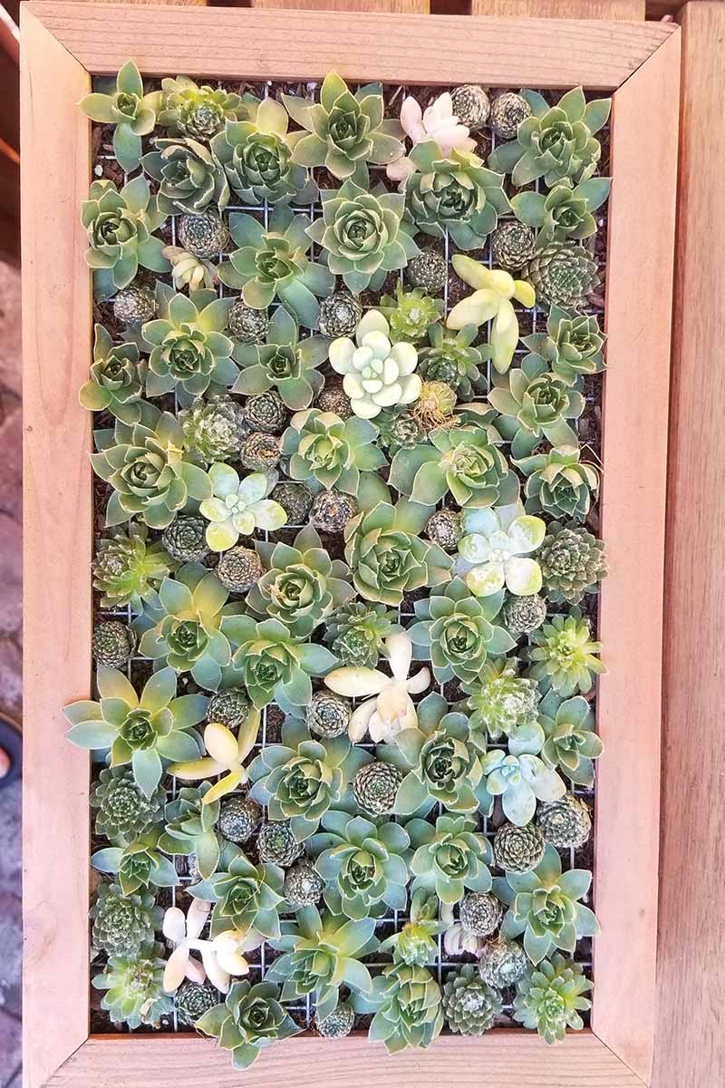 A close up vertical image of a succulent planter with a variety of plants set on a wooden surface.