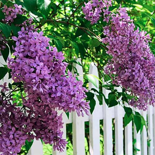 A close up square image of a Syringa vulgaris 'Sunday' bush with purple flowers growing over a white picket fence pictured in light filtered sunshine.