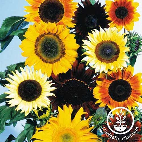 A close up of a variety of different sunflowers pictured against a blue sky background. To the bottom right of the frame is a white circular logo with text.