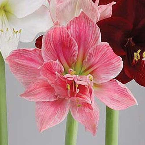 A close up square image of a bright pink Hippeastrum 'Sweet Nymph' with other flowers in the background in soft focus.