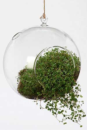 A close up vertical image of a hanging glass terrarium planter with air plants growing inside, pictured on a white background.