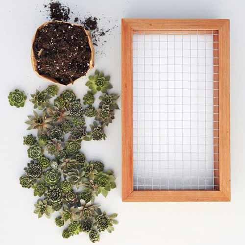 A close up, top down square image of a succulent planter made of wood with succulent plants and soil to the left of the frame.