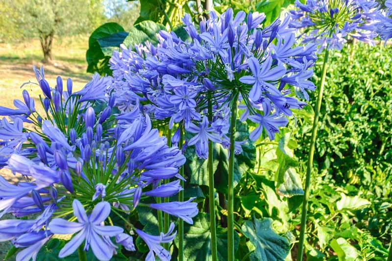 A close up horizontal image of bright blue flowers growing in the garden pictured in light sunshine on a soft focus background.