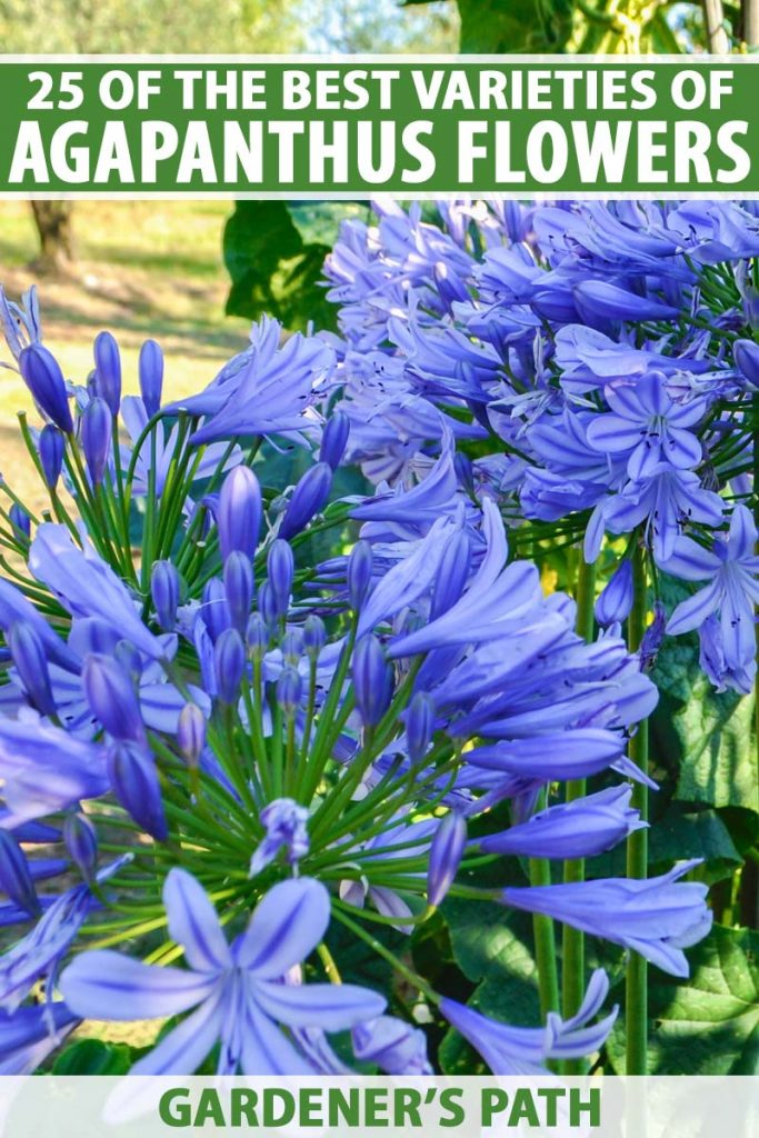 A vertical close up picture of bright blue flowers growing in the summer garden pictured in bright sunshine on a soft focus background. To the top and bottom of the frame is green and white printed text.