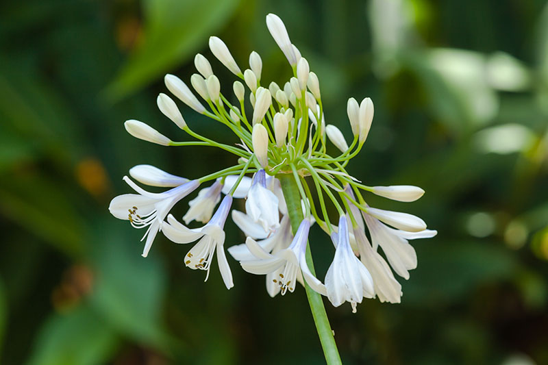 A close up horizontal image of delicate white and blue flowers of the 'Twister' agapanthus cultivar pictured in light sunshine on a soft focus background.