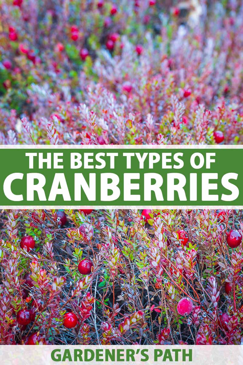 A close up vertical image of cranberries growing in the garden. To the center and bottom of the frame is green and white printed text.