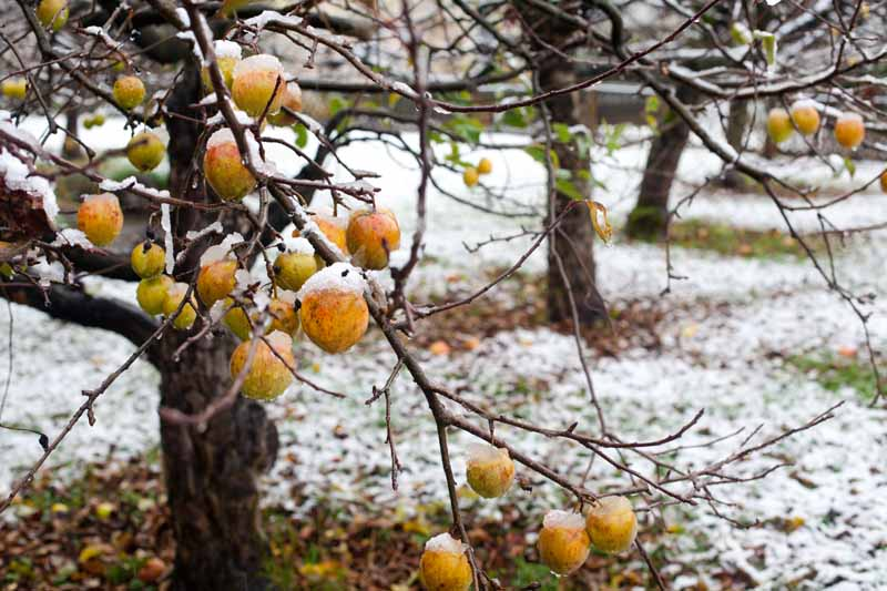A close up of unharvested apples on a tree covered in a light dusting of snow pictured on a soft focus background.
