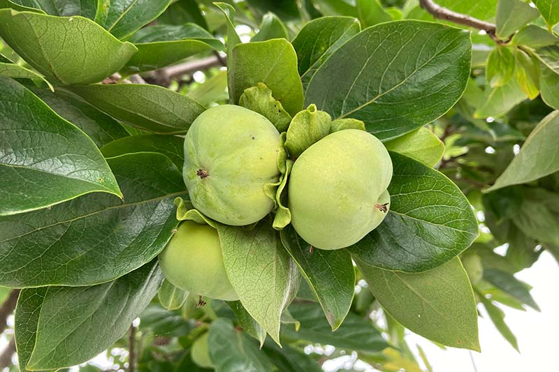 A close up horizontal image of unripe Diospyros kaki fruit growing on the tree pictured on a soft focus background.
