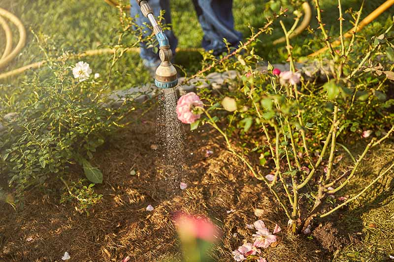 A close up horizontal image of a gardener using a hosepipe to water border plants surrounded by mulch in the gentle autumn sunshine.
