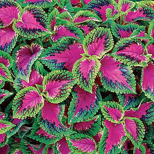 A close up square image of the pink, green, purple, and yellow foliage of 'Watermelon' coleus growing in the garden.