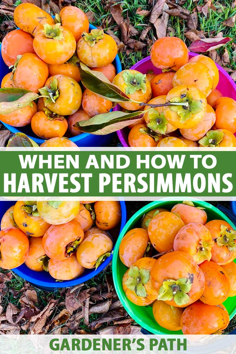 A close up vertical image of bowls filled with freshly harvested persimmons set on the ground. To the center and bottom of the frame is green and white printed text.