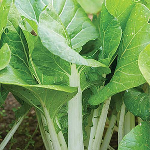 A close up square image of 'White Choi' bok choy growing in the garden ready to harvest.