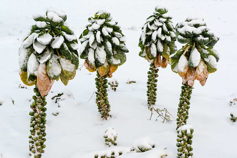 A close up horizontal image of Brassica oleracea var. gemmifera in the snow pictured on a snowy winter landscape.