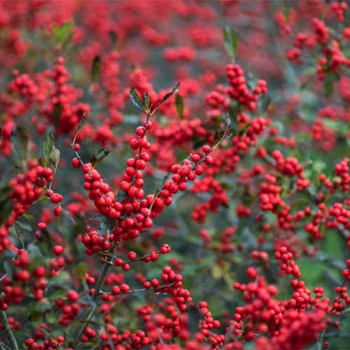 A close up square image of Ilex verticillata 'Winter Red' with bright red berries growing in the garden pictured on a soft focus background.