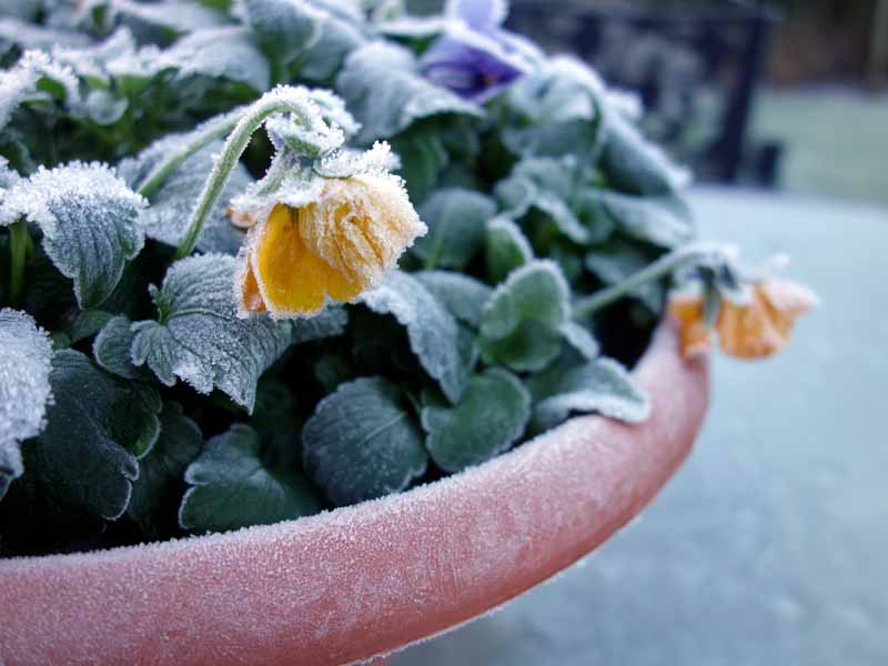 A close up horizontal image of yellow flowers growing in a pot covered in a layer of frost pictured on a soft focus background.
