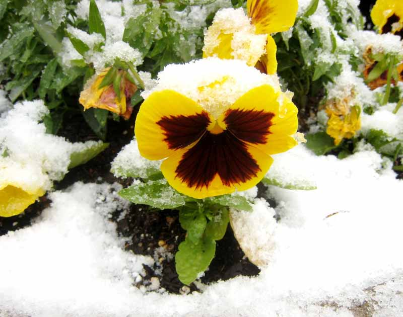 A close up horizontal image of a yellow and burgundy pansy flower growing in the snow.