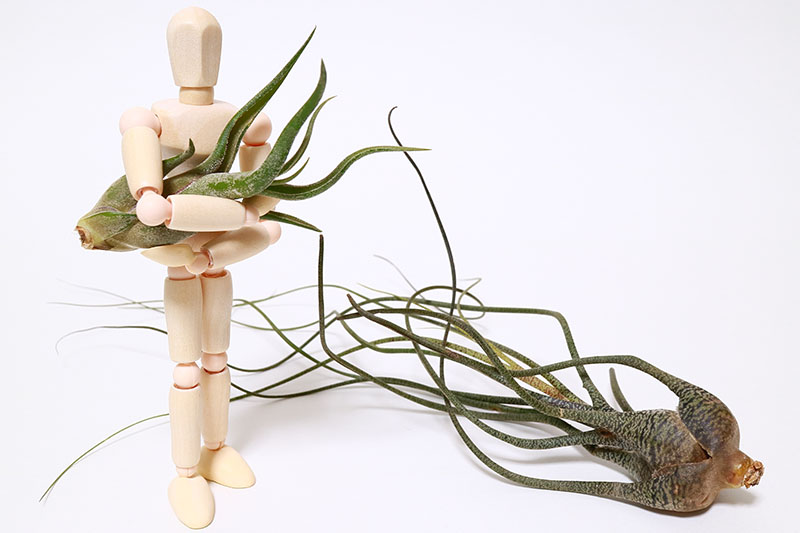 A close up horizontal image of Tillandsia plants with a wooden mannequin pictured on a white background.