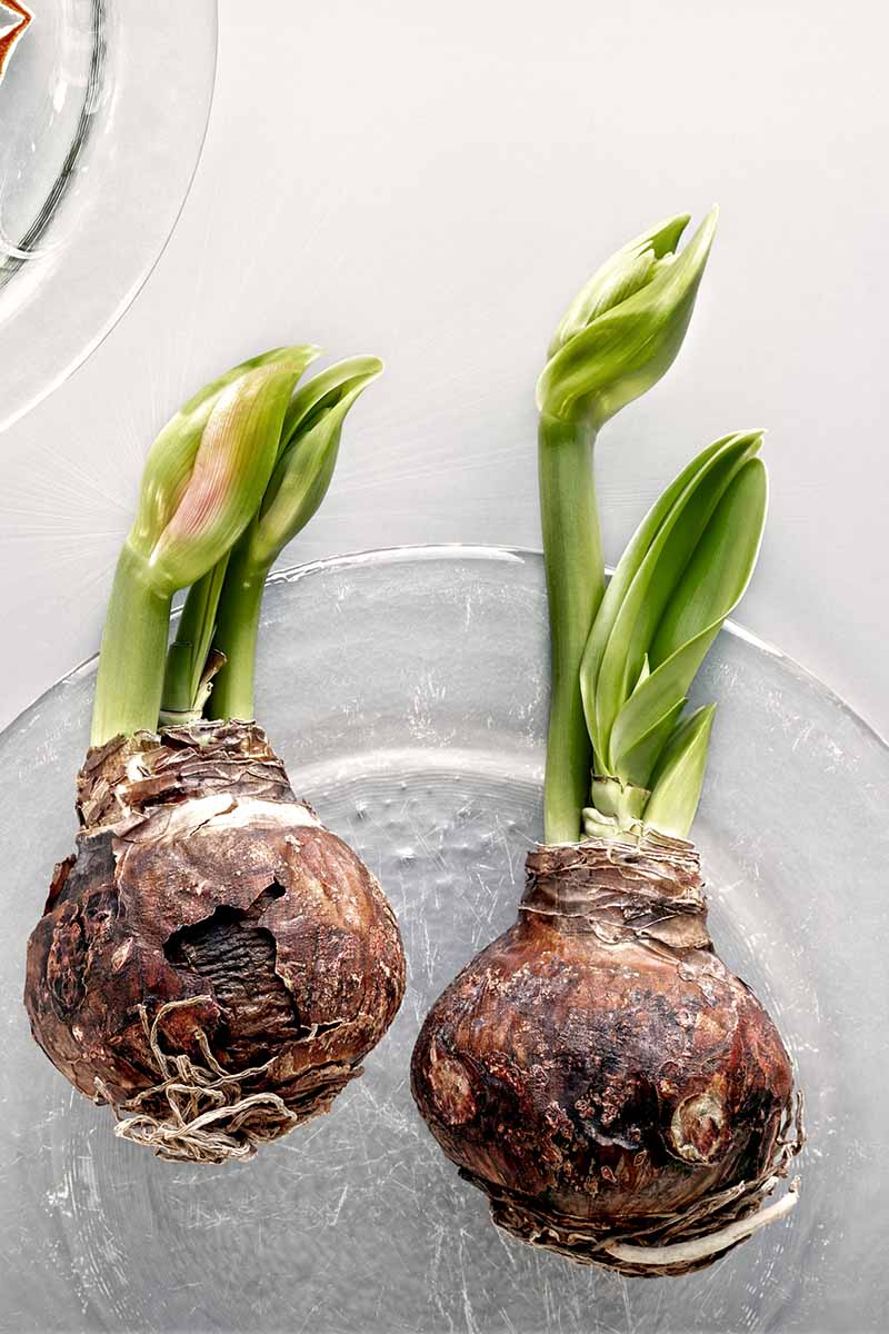 A close up vertical image of two Hippeastrum corms that have started to sprout set on a glass plate, pictured on a white background.