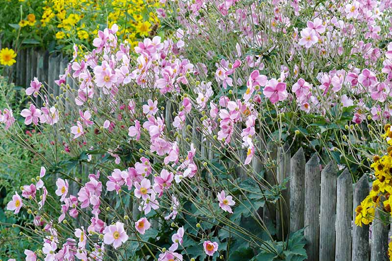 A close up horizontal image of light pink anemone flowers spilling over a wooden fence, with yellow flowers in soft focus in the background.