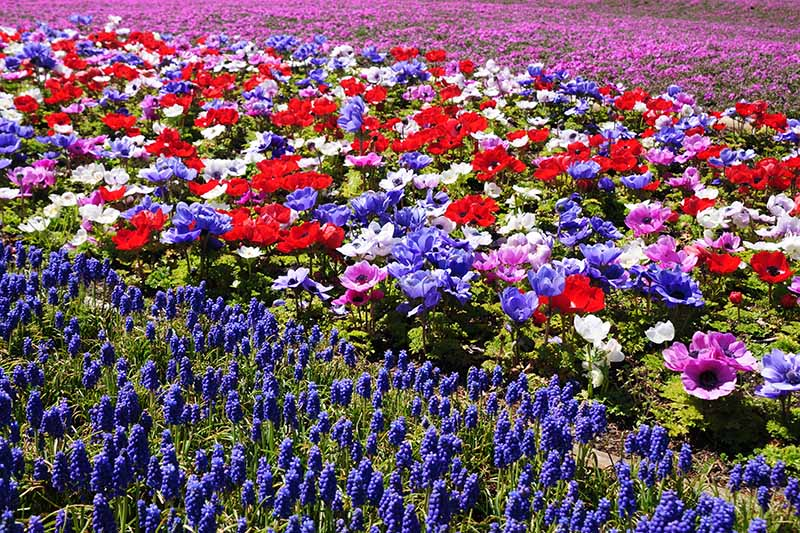 A horizontal image of bright anemone flowers growing in a naturalized setting in the garden with purple grape hyacinth to the bottom of the frame.