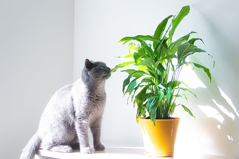 A close up horizontal image of a large gray cat sniffing the leaf of a peace lily plant growing in an orange container, pictured in bright sunshine.